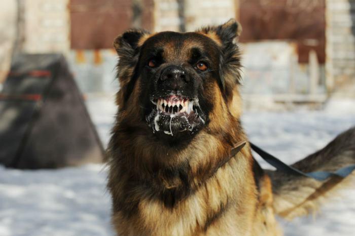 Сонник собака нападает, к чему снится собака нападает во сне видеть 💤 узнайте что значит, если собака нападает приснилась — ✅ толкование снов бесплатно.