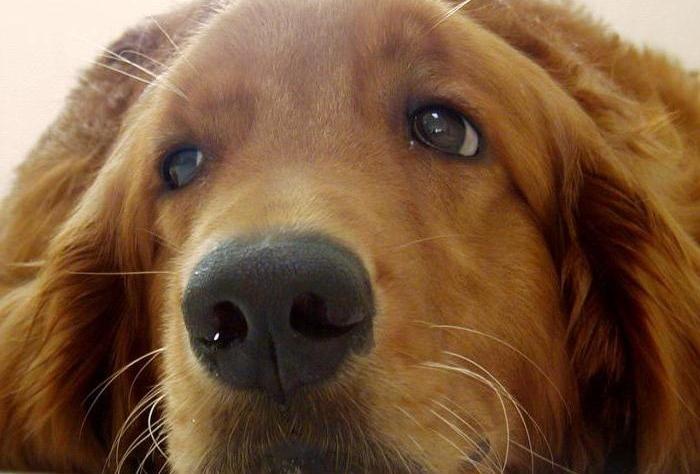 Ринит у собаки лечение