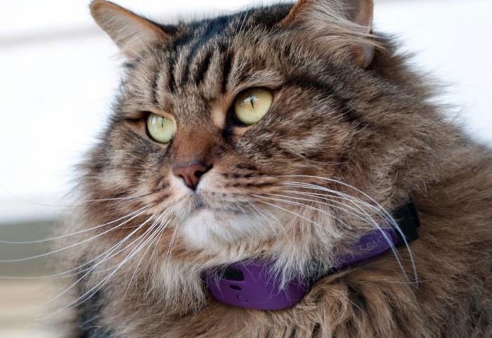 Как понять что вам нужен ошейник для кошки с маячком