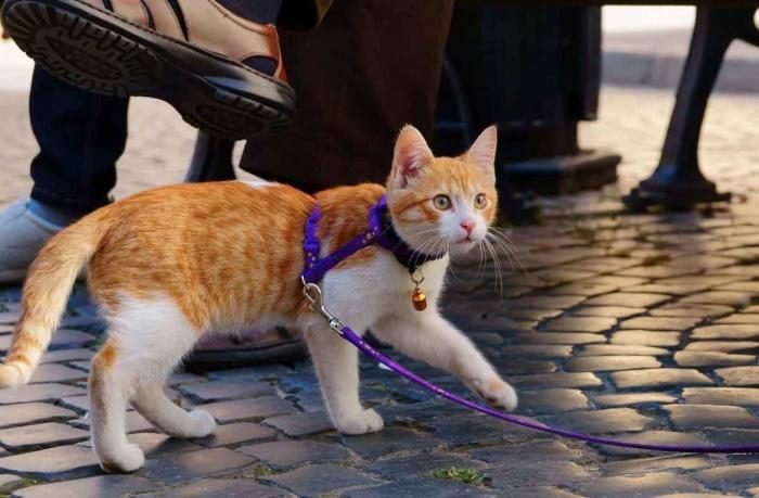 Как одеть ошейник на кошку для прогулки — как одевать поводок на кота?