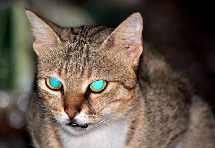 Глаза кошки в темноте