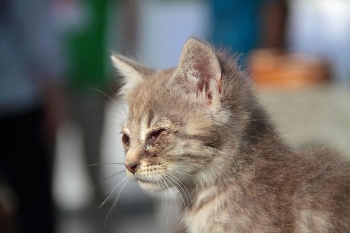 Конъюнктивит у животных лечение