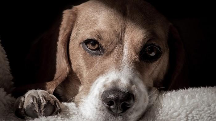 Инфаркт почек у собаки