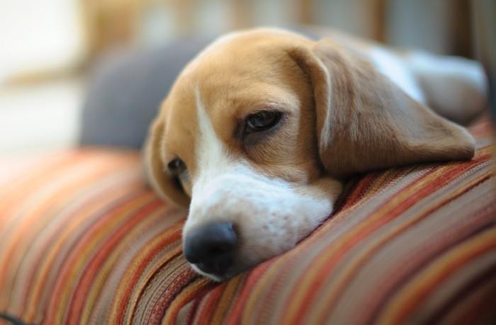 Лечение рака носа у собак