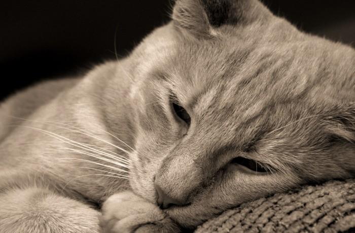Рак уха у кота лечение