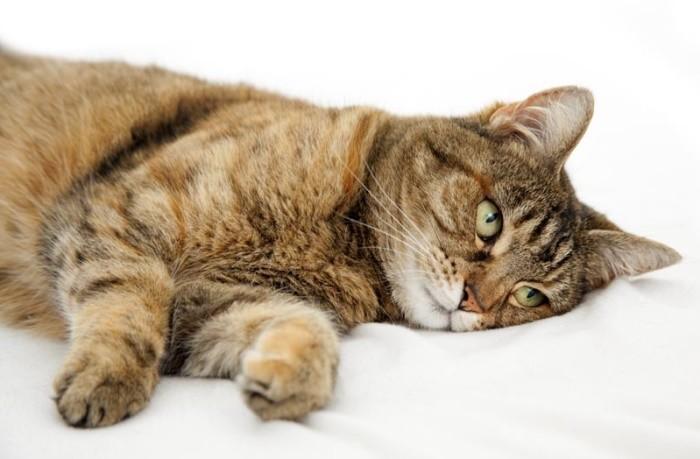 Рак у кошек в брюшной полости