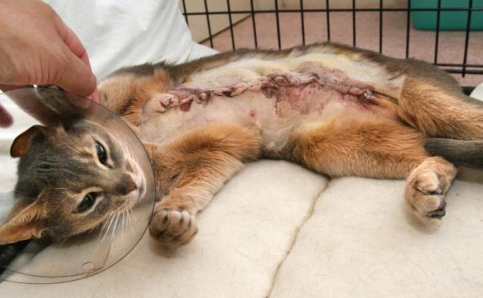 Рак у кошки симптомы