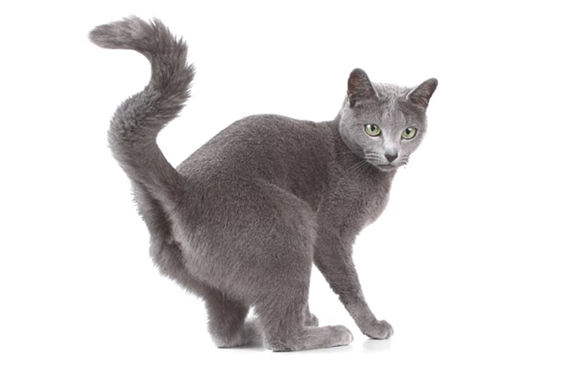 Кастрированные коты метят