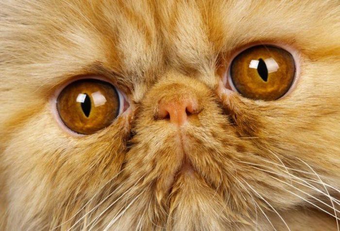 Почему у кошки слезятся глаза: причины, что делать