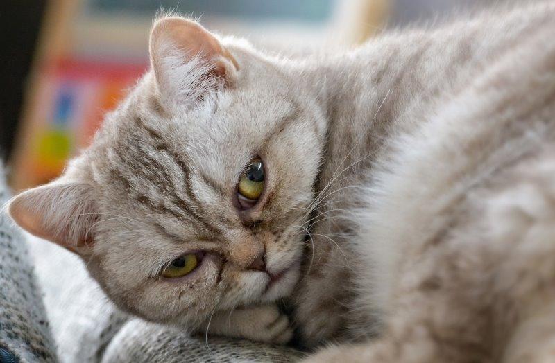 Эклампсия у кошек после родов симптомы и лечение