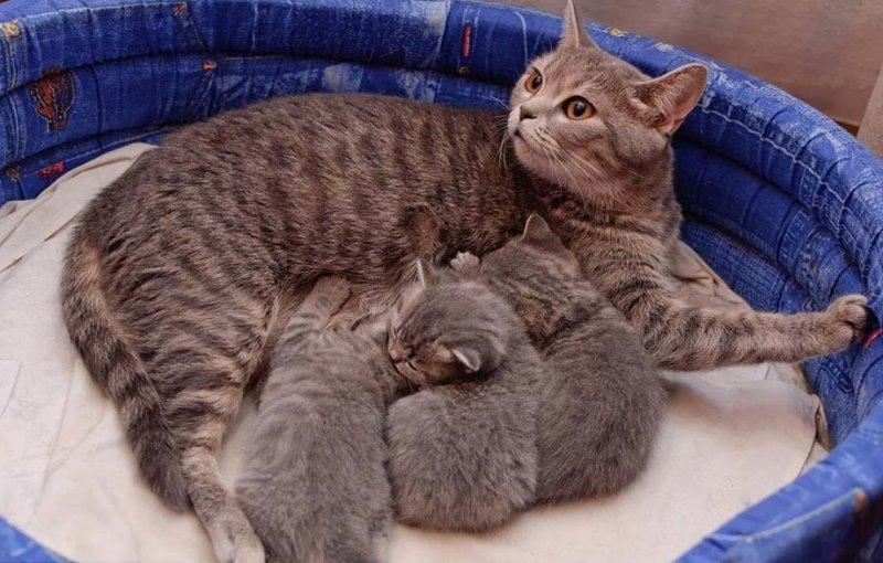 Когда приходит молоко у кошки норма и патологии