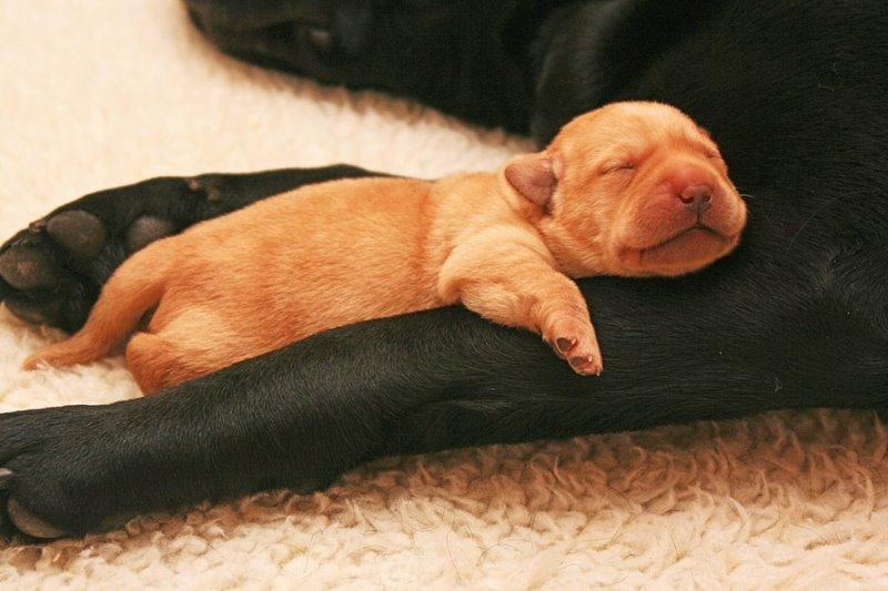 Родились недоношенные щенки особенности содержания и ухода