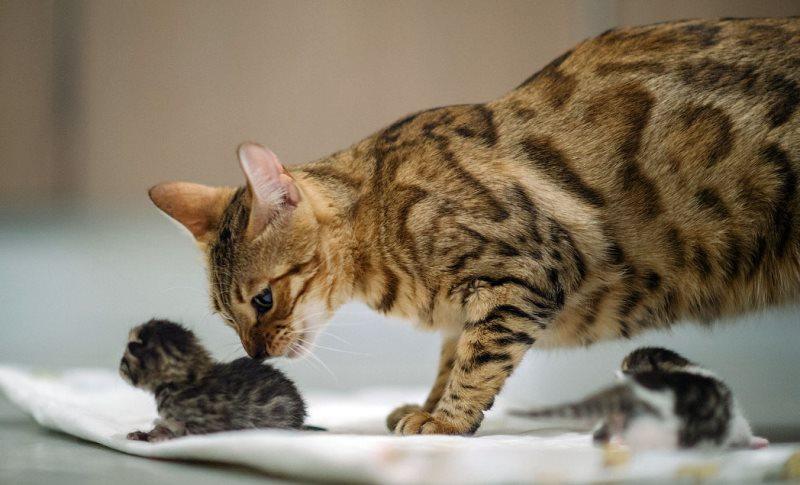 Почему кошка после родов мяукает