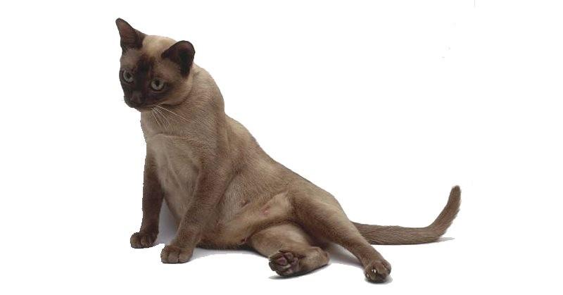 Температура тела у кошки перед родами норма и патология
