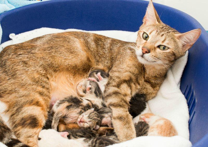Интервал между котятами во время родов у кошек нормальных стремительных затяжных