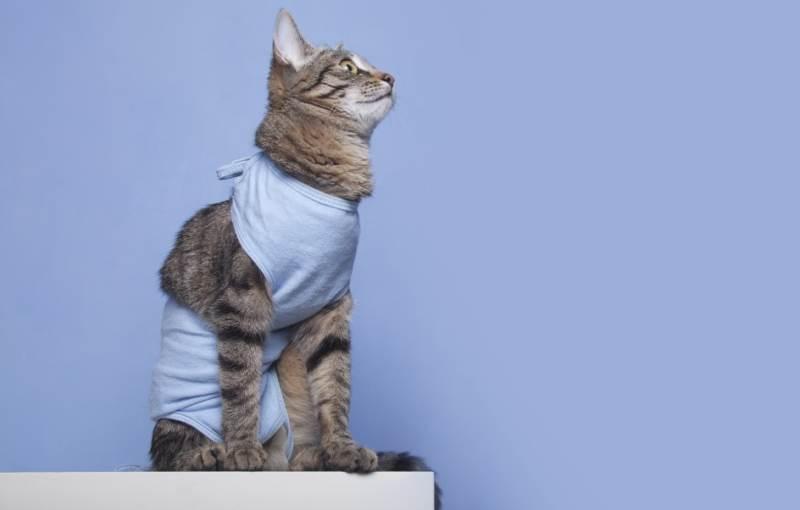 Грыжа у кошки после стерилизации