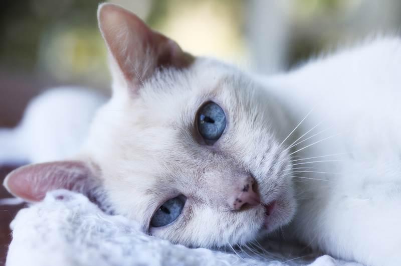 Оптимальный возраст для стерилизации любимицы. Лучший возраст для стерилизации кошки: плюсы и минусы периодов Во сколько надо делать стерилизацию коту