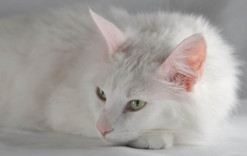Подготовка кошки к стерилизации что нужно сделать и можно ли кормить