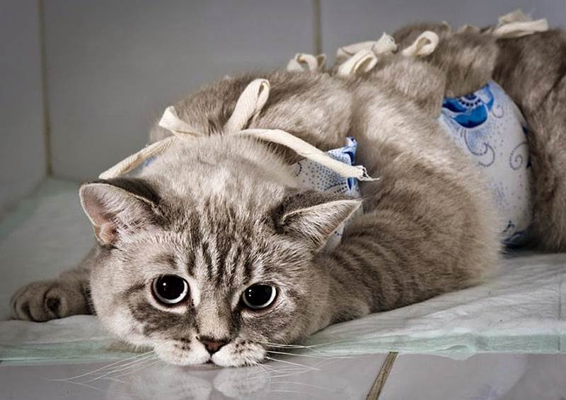 Через сколько после прививки можно стерилизовать кошку после