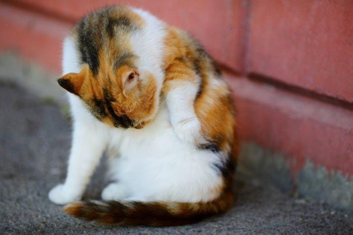 Блохи у кошки на хвосте