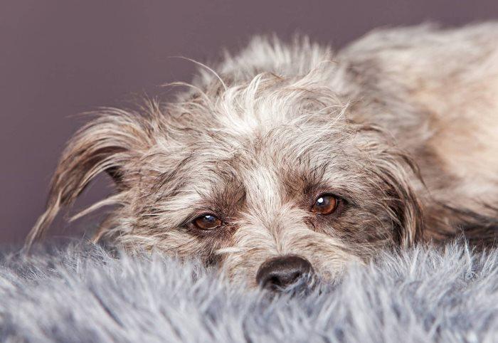 Кашель у собаки глисты лечение