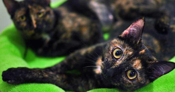 Как ведет и чувствует себя кошка после стерилизации