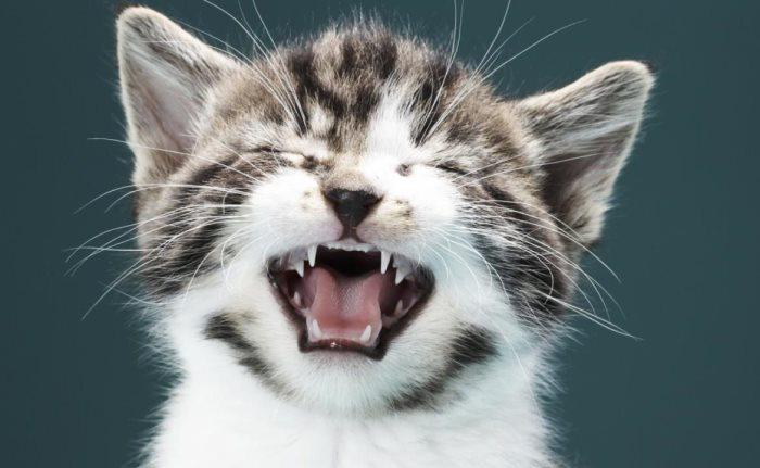 У котят гноятся глаза как лечить