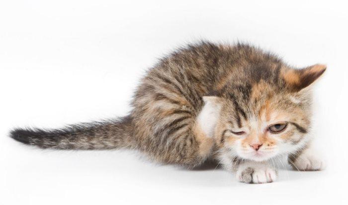 Как самостоятельно избавиться от блох у кошки и собаки? Средства от блох у кошек и собак