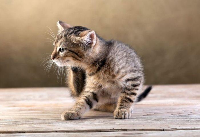 Как вывести блох у котенка, средства от блох у котят