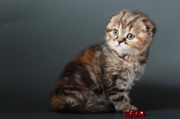 Чем кормить шотландского вислоухого котенка и как правильно за ним ухаживать