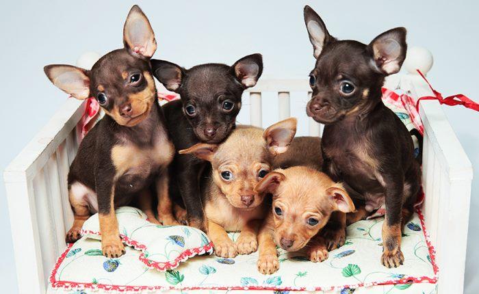 Кормление той-терьера: 10 советов питания для взрослого и щенка в домашних условиях