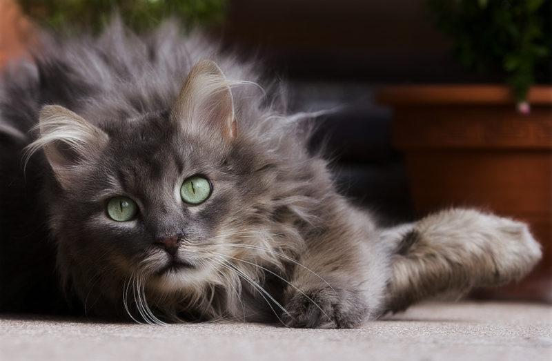 Как домашняя кошка может заразиться бешенством