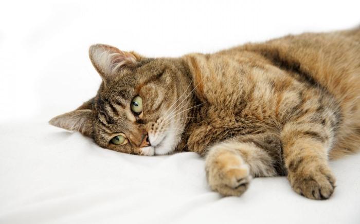 Отек у кошек - симптомы, лечение, препараты, причины появления