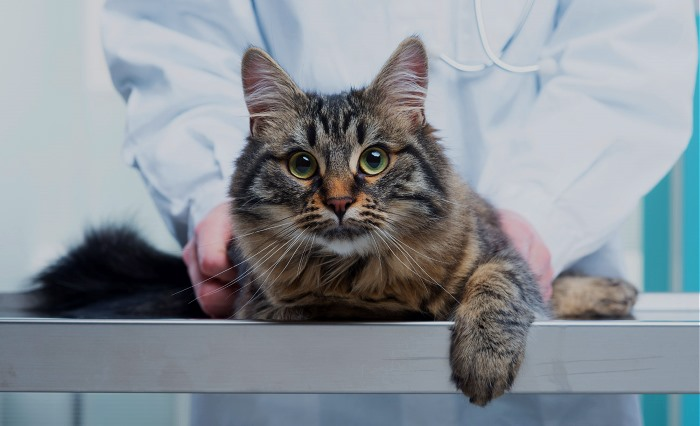 Сердечная недостаточность у кошек прогноз жизни. Острая сердечная недостаточность у кошек отек легких. Как диагностировать заболевание