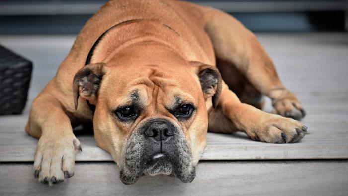 Лейшманиоз у животных признаки и лечение