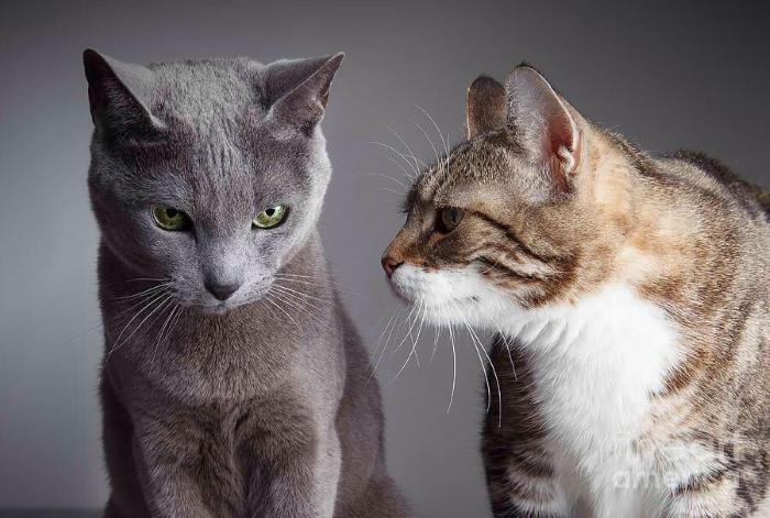 Мастопатия у кошек Причины возникновения и лечение кошачьей мастопатии
