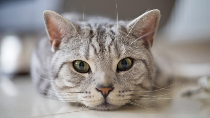 Трахеит у кошек лечение в домашних услови¤х thumbnail