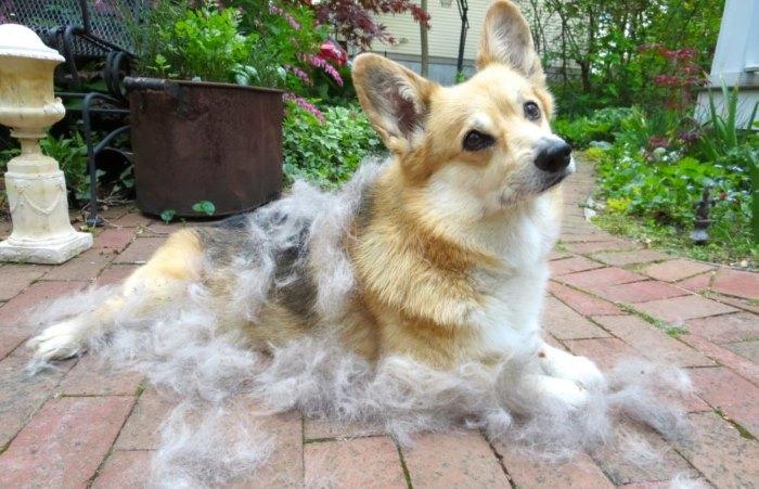 Собака не линяет весной почему